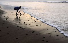 A boy helps baby turtles make their way to the sea.