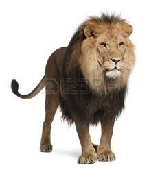 lew%3A+Lew%2C+Panthera+leo%2C+8+lat%2C+stoi+przed+bia%C3%85%E2%80%9Aym+tle
