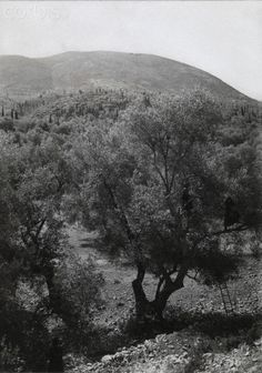 Women climb trees in an olive grove in order to harvest the fruits-Fred Boissonnas National Geographic Images, Greece Photography, Frederic, Rich Image, Photo Library, Image Collection, Royalty Free Photos, Old Photos, Vector Art