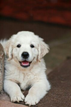 This is Howdy, an English Creme Golden Retriever.