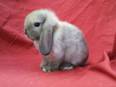 Image detail for -holland lops for sale- $20.00 USD