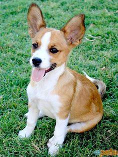 Have you guys ever seen the outcome of Corgi dogs, when impregnated with other dog breeds? Could you imagine a Husky-Corgi, or a Pitbull-Corgi? Chihuahua Mix Puppies, Corgi Mix, Chihuahua Love, Cute Puppies, Pomeranian Chihuahua, Puppy Mix, Beagle Mix, Adorable Dogs, Corgi Breeds