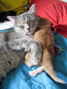 cute ginger kitten and cat mama cuddle snuggle