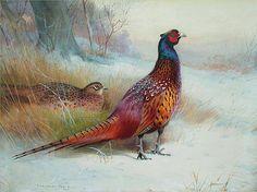 "mimimatelot: "" Old English Pheasant, watercolor by Archibald Thorburn """