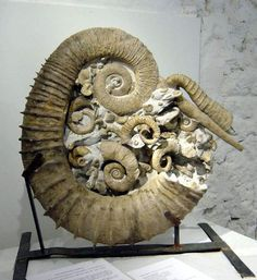 Benny and I are dying over this gorgeous ammonite -h