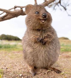 """""""Here's a Quokka to cheer you up 😍Quokkas are a small macropod about the size of a domestic cat. Like other marsupials the quokka is herbivorous & mainly nocturnal. In certain areas they are known to be quite friendly & interact with people. Smiling Animals, Happy Animals, Animals And Pets, Pics Of Animals, Strange Animals, Nature Animals, Cute Little Animals, Cute Funny Animals, Beautiful Creatures"""