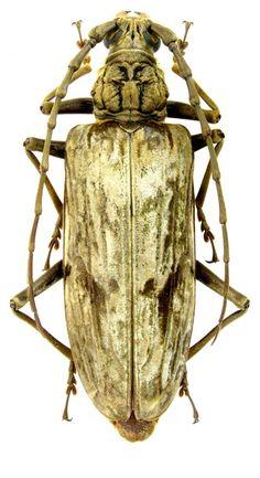 Neocerambyx gigas (Thomson, 1878) (Cerambycidae) Thailand, Doi Mthanon