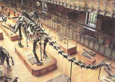 Le spécimen de Diplodocus carnegii au Muséum d'Histoire Naturelle de Paris. Là encore, il est monté selon les conception du 19esiècle...