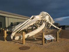 Pictures: World's largest Whale Skeleton - chicagotribune.com