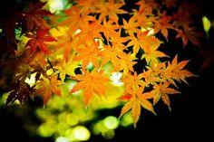 autumn japanese maple | Pin Japanese Maple Autumn Tattoo on Pinterest