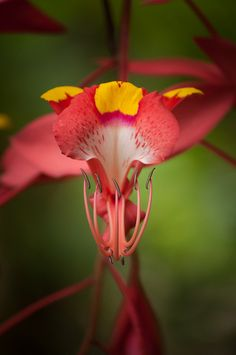 Amherstia, orchid