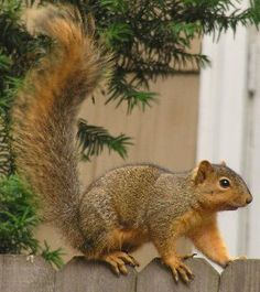 The Fox Squirrel, Sciurus Niger, is the largest species of tree squirrel native to N. America. They're certainly HUGE where I grew up in Hart Co. Kentucky. Nothing like I see in Western Washington or Denver Colorado. I met one on the ground as big as my 11lb tomcat, unusually big even for a Fox squirrel. I stepped one foot forward as a little challenge. It did the same to me... I backed off=) #johnjliam