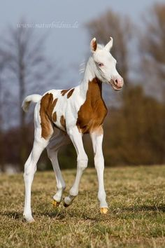 Pretty Little Blue-Eyed Chestnut Paint Arabian. All The Pretty Horses, Beautiful Horses, Animals Beautiful, Baby Animals, Cute Animals, Photo Animaliere, Baby Horses, Wild Horses, All About Horses