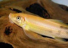 Znalezione obrazy dla zapytania rybki akwariowe  glonojady