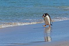 Dah-dum-da-dum. --TMG Gentoo Penguins | Flickr - Photo Sharing!