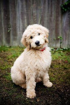 Golden doodle > sweet dog face!