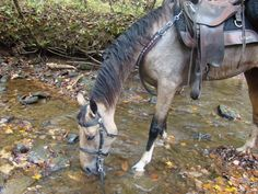Tennessee Walking Horses.... awesome for the trail.