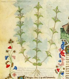 """CONSIGLI DAL MEDIOEVO: L'EUFRASIA - """"L'eufrasia è un'erba che altri chiamano luminela. Ridotta in polvere e data da bere con vino bianco a stomaco vuoto nelle quantità di un cucchiaio giova a tutti nella difficoltà visiva. L'esperimento è stato fatto da molti anziani privati della vista e della luce degli occhi, che ritornano a vedere"""". Dal codice """"Historia Plantarum"""", fine XIV secolo."""