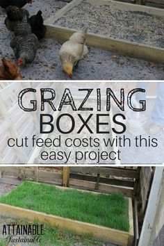 Save Money on Chicken Feed - Build these Grazing Boxes for Your Flock! DIY grazing boxes make for happy grass fed chickens. They're a great way to save on the cost of raising backyard chickens (and other poultry), too! Grass Fed Chicken, Chicken Garden, Backyard Chicken Coops, Diy Chicken Coop, Chicken Feeders, Chicken Runs, Raising Backyard Chickens, Keeping Chickens, Pet Chickens
