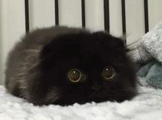 大きな目を持つ猫