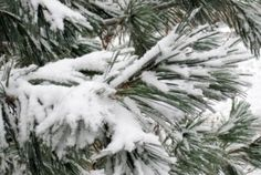 When there's a thin blanket of snow on the ground, Judith Adam is grateful for every conifer in her landscape, especially those with long soft needles. Pine Garden, Trees, Landscape, Outdoor, Outdoors, Scenery, Tree Structure, Outdoor Games, The Great Outdoors