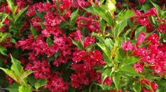 Red Prince Weigela - Google Search