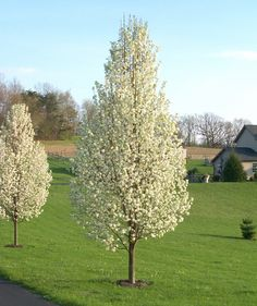 Genus: Pyrus Species: calleryana Common: Flowering Pear H: W: Z: - All For Garden Ornamental Pear Tree, White Flowering Trees, Dogwood Trees, Pear Trees, Backyard Trees, Garden Trees, Lawn And Garden, Backyard Landscaping, Deciduous Trees