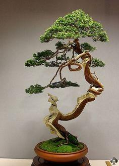 Very elegant Juniper Bonsai