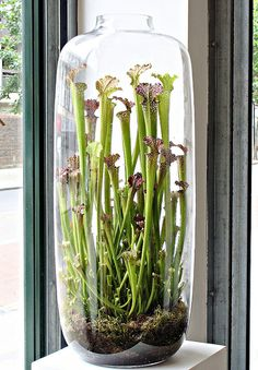 After patiently feeding them through the opening, I was so happy when I saw the lovely proportions of these Pitcher plants in this vase. Imagine, then, my dismay to discover the second vase in this pair needed for The Orrery, had been broken in my absence. I will mourn it's loss, as they have been particular favourite vases of mine, which I have not allowed other people to use!
