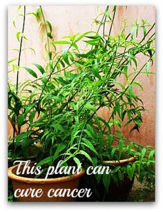 Sabah snake grass : Herbal cancer treatment. Sabah Snake Grass can cure many illnesses, including cancer.  Read testimonies of those being cured by Sabah Snake Grass.
