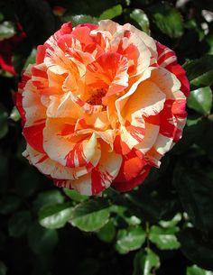 Red, white, and orange rose - beautiful