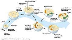 El blog del biólogo: TEORÍA ENDOSIMBIÓTICA (LYNN MARGULIS)