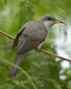 Yellow-billed Cuckoo | Audubon Field Guide