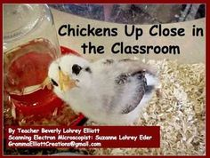 It is time to start planning for hatching chickens in your classroom or at home if you are homeschooling.A  mini-book version of the chicken hatching project is also available in my store. The Chickens Hatching Project makes a science classroom interactive and educationally stimulating.