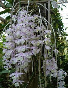Dendrobium aphyllum grows in India, Myanmar, Thailand and south China at 200 to 1800 m in seasonally dry tropical forests. Unusual Flowers, All Flowers, Tropical Flowers, Amazing Flowers, Beautiful Flowers, Purple Flowers, Orchids Garden, Orchid Plants, Exotic Plants