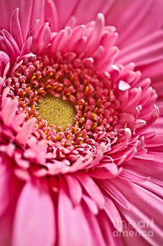 ✯ Gerbera Flower