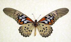 Papilio Antimachus Origin: Madagascar