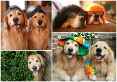 A little information about golden retriever dogs Augie and Ti. Come read about their awards, contest wins, and fame and fortune!