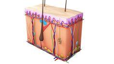 Hautzellen  Außen sanft und geschmeidig, innen hoch komplex: Ein Kubikzentimeter Haut enthält durchschnittlich sechs Millionen Zellen, 25 Berührungspunkte, 13 Kältepunkte, zwei Wärmepunkte, 200 Schmerzpunkte, zehn bis 25 Druckpunkte, einen Meter Blutgefäße, vier Meter Nerven, 100 Schweißdrüsen, 15 Talgdrüsen und 20 bis 200 Haare