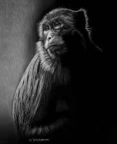 Macaque Monkey  White Pencil on Black Paper - by Melissa Schatzmann