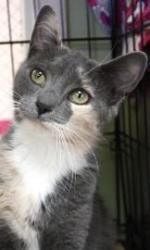 Gretchen is an adoptable Domestic Short Hair Cat in New York, NY. Gretchen is a beautiful dilute calico who was rescued as a stray kitten from someone's backyard. This savvy 5 month old feline is defi...