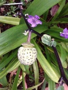 Seed pod to datura (devils trumpet)