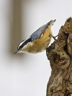 Red-breasted Nuthatch (Sitta canadensis) Pretty Birds, Beautiful Birds, Lake Arrowhead, Backyard Birds, Bird Pictures, Watercolor Bird, Bird Feathers, Nuthatches, Woodpeckers