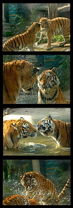 Spelende tijgers
