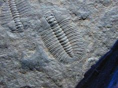 Cambrian Arthricocephalus Trilobites from China   Arthricocephalus sp   Trilobite Order Corynexochida, Family Oryctocephalidae  Geological Time: Cambrian  Size: Largest trilobite is 9 mm  Fossil Site: Hotang and Dachenling Formations, Guizhou, China