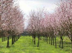 Thundercloud plum trees