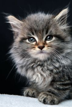 Portrait of a Maine Coon Kitten...I want one! - Spoil your kitty at www.coolcattreehouse.com