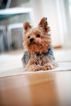 """Do I smell...bacon?""...Hungry #Yorkie found on fundogpics.com"