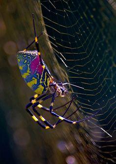 Nephilia clavata. Wow!  Beautiful!  Spiders...God is so creative