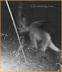 Chupacabras - The name comes from the animal's reported habit of attacking and drinking the blood of livestock, especially goats. It is supposedly a heavy creature, the size of a small bear, with a row of spines reaching from the neck to the base of the tail. March 1995, Puerto Rico, eight sheep were discovered dead, each with three puncture wounds in the chest area and completely drained of blood.